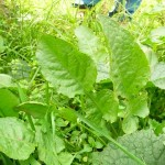 Les feuilles des plantes comestibles