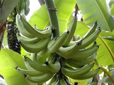 Bananes des Antilles