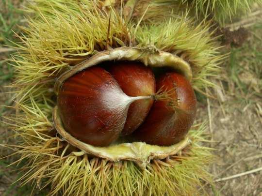Plantes comestibles les noix - Comment eplucher les chataignes ...
