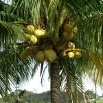 Plantes comestibles en régions tropicales : arbres et rhizomes