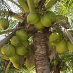 Cocotier et noix de coco