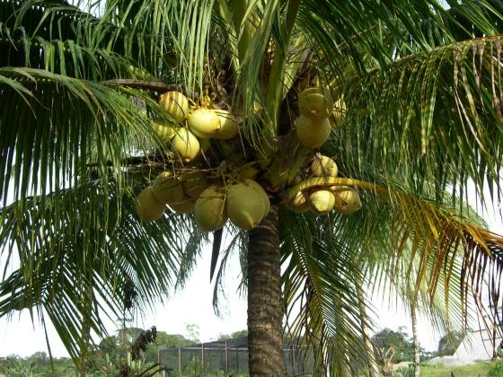 Le cocotier jaune