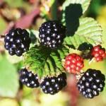 Plantes comestibles sauvages : les fruits