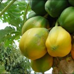 Plantes comestibles en régions tropicales : fruits , noix et baies
