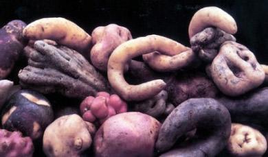 Les pommes de terre sauvages