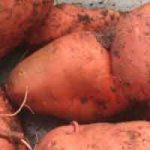 Plantes comestibles en régions tropicales : les tubercules