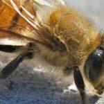 Que faire face à des abeilles tueuses ?