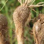 Parties comestibles des plantes : les bulbes