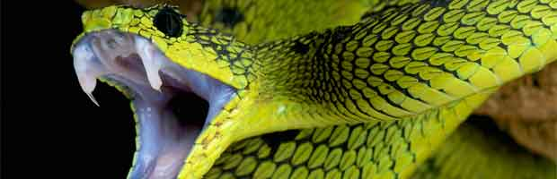 Les morsures de serpents