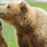 Que faire face à un ours ?