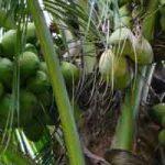 Plantes comestibles en régions tropicales : les palmiers