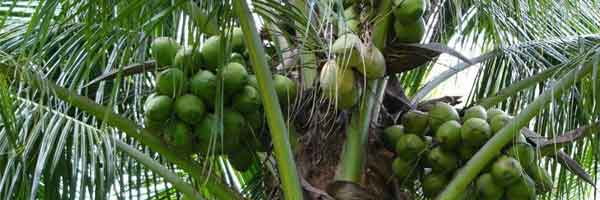 plantes tropicales comestibles les palmiers. Black Bedroom Furniture Sets. Home Design Ideas