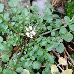 Plante comestible : la cardamine hérissée