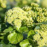 Plante comestible : le Maceron
